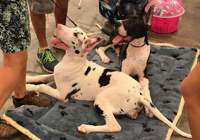 SNOW WHITE & MIGHTY THOR-- Harlequin and Mantle Great Dane puppies compete in the show ring!