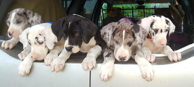 Harlequins, Mantles, and Mantle Merle Great Dane Pups road trip