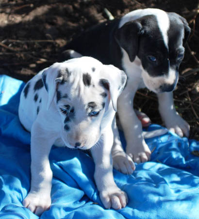 pups harlequin mantle
