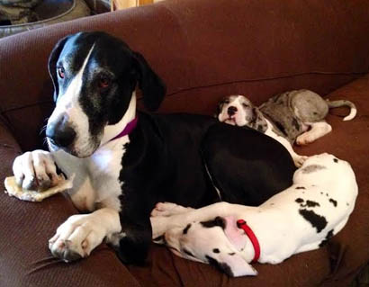 Great Dane Puppies– harlequins, mantles, and merle mantles