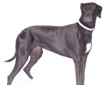 lola black great dane