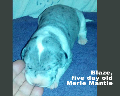female merle mantle great dane 5 days old