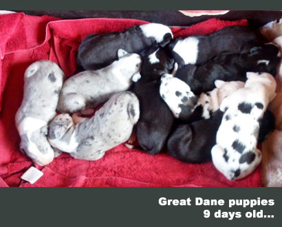 great dane puppies 9 days old