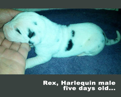 male harlequin great dane 5 days old