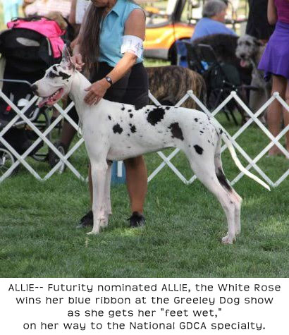 Great Dane-- ALLIE, Futurity nominated Harlequin Female on her way to the National GDCA Specialty