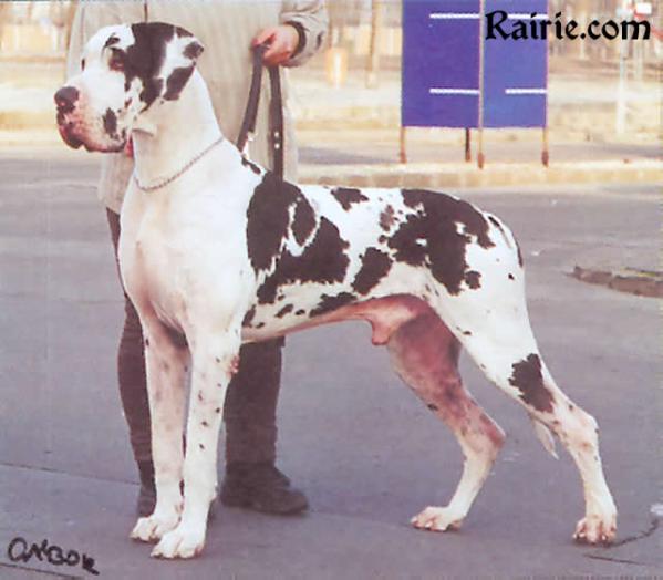 juhree CH Amon Dog Eros Harlequin