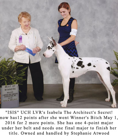 Harlequin female Great Dane, Best of Winners