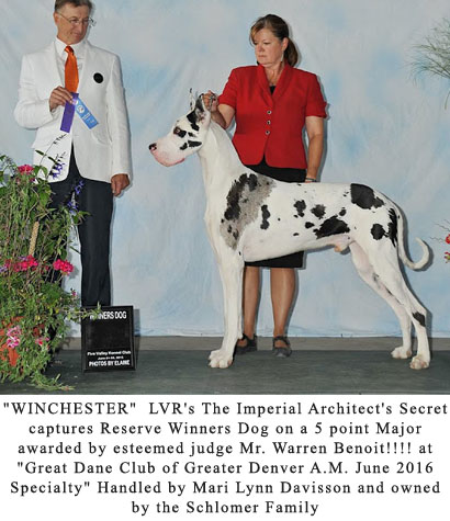 Harlequin Great Dane WINCHESTER Winner's dog