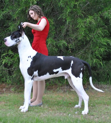 aengus mantle great dane