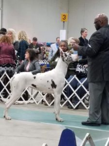 snow white great dane with handler