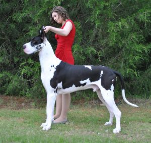 Aengus mantle great dane stud