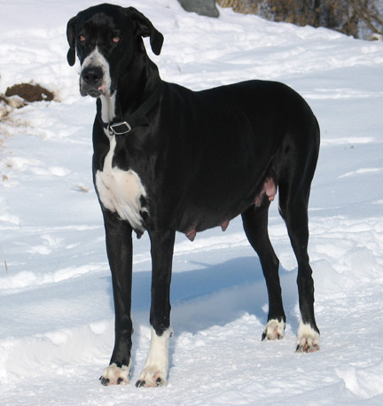 Maya female mama great dane