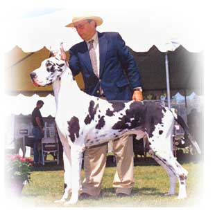 Remo stud great dane