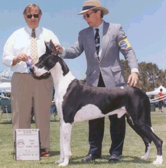spy mantle great dane stud