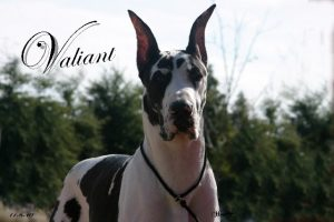 valiant mantle great dane stud