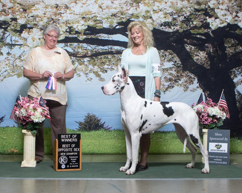 snow white great dane champion