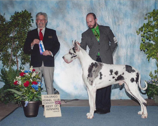Winchester harlequin great dane champion