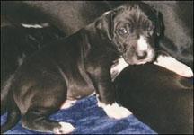 male dane puppy