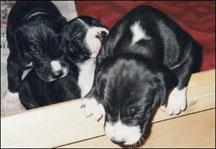 curious dane puppy
