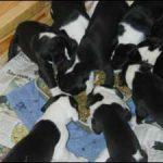 great dane puppy litter