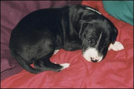 dane puppy napping