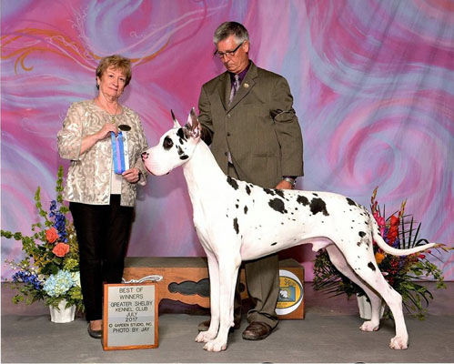 chinch champion great dane win pic