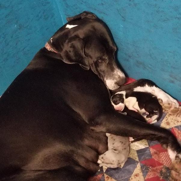 Mama Sugar bear with new great dane puppies
