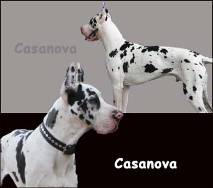 harlequin cassanova stud