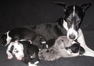 cleo great dane puppies