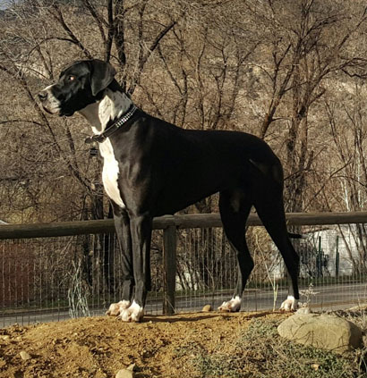 mantle great dane sugar bear