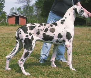 peyton the mann great dane stud