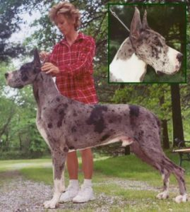 veto stud great dane